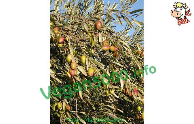 Foto numero 1 della ricetta Salsa di olive