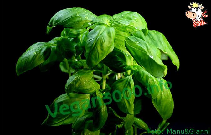 Foto numero 1 della ricetta Pesto di basilico
